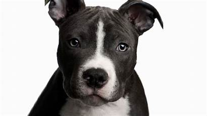 Pitbull Dog Bull Face Pit Wallpapers Background
