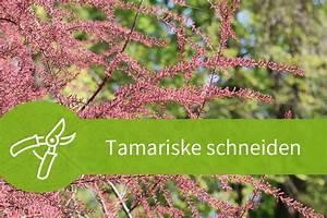 Pflanzen Schneiden Kalender : tamariske schneiden anleitungen f r baum und strauch ~ Orissabook.com Haus und Dekorationen