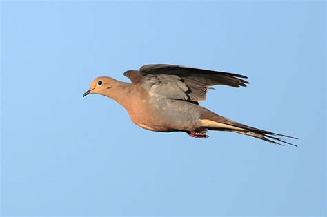 Mourning Dove images and video