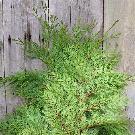 christmas greens boughs  berries arts nursery
