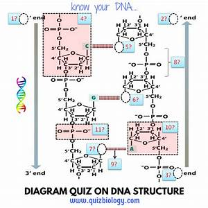 Diagram Quiz On Dna Structure