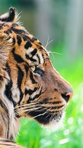 Wallpaper Tiger, 5k, 4k wallpaper, green grass, close ...  Wild