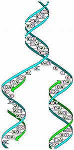 dna replication wikipedia With semiconservative replication involves a template what is the template