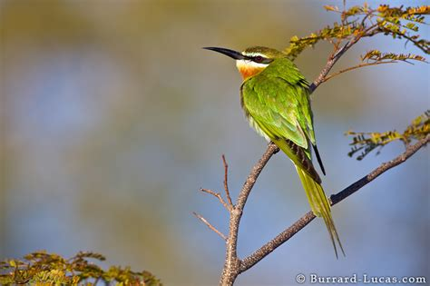 olive bee eater burrard lucas photography