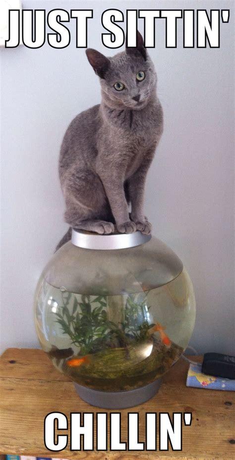 Russian Cat Meme - just sitting chilling cute russian blue kitten funny meme animal cuteness pinterest