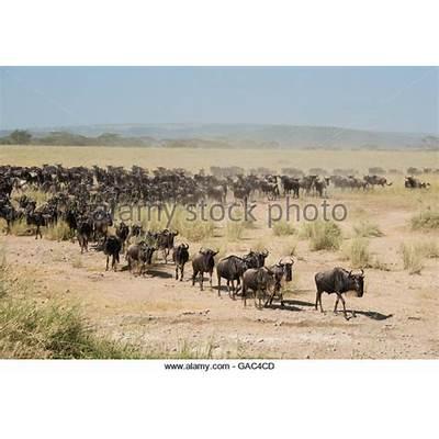 Wildebeest Migration Stock Photos &