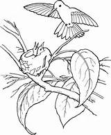 Hummingbird Coloring Pages Printable Drawing Supercoloring sketch template
