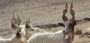 Caciotta di capra girgentana Lumia