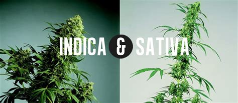 Ultimate Comparision Of Cannabis Plants