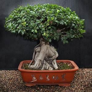 Bonsai Ficus Ginseng : bonsai ficus ginseng large gardenshop ~ Buech-reservation.com Haus und Dekorationen