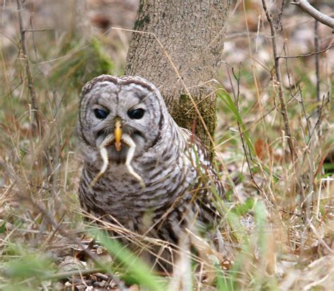 biology of the barred owl strix varia