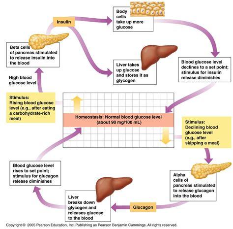 endocrine system   washtenaw community college studyblue