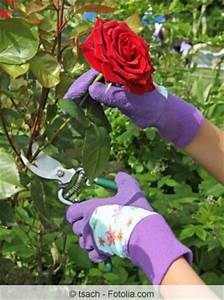 Rosen Schneiden Zeitpunkt : rosen im herbst schneiden das sollten sie wissen ~ Frokenaadalensverden.com Haus und Dekorationen