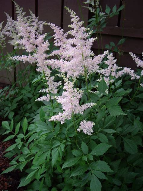 shade plants canada astilbe shade plant plays well with hostas and japanese ferns gardening pinterest