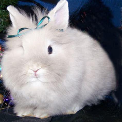 lionhead rabbit colors lionhead rabbit colors and varieties wideband