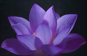 Purple Lotus Flower - Flower HD Wallpapers, Images ...
