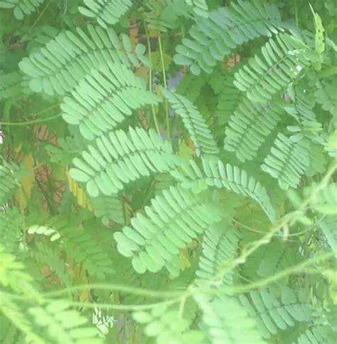 khasiat tanaman herbal andamyuwhs blog