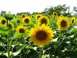 ~sunflower seeds~ - sunflower seeds Photo (22079280) - Fanpop