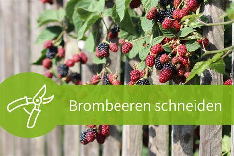 Im Herbst Schneiden by Brombeeren Schneiden R 252 Ckschnitt In 3 Jahreszeiten