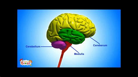 brain parts functions video  kids  www