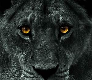 Wild White Lions Blue Eyes | Not a black lion, but ...