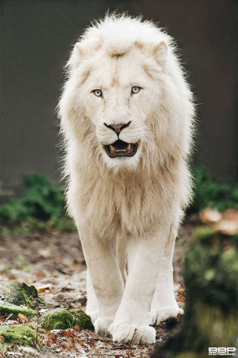 White Lion Bert Broers Animals Beautiful