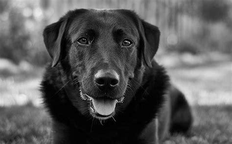 Black Labrador Retriever Life Expectancy