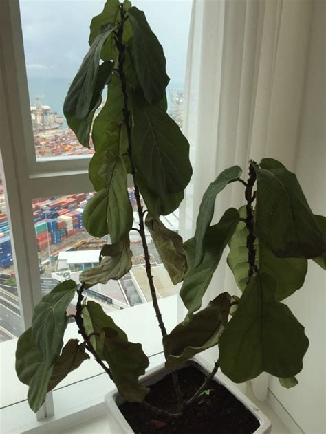 My fiddle leaf (ficus lyrata) tree is dying  please help