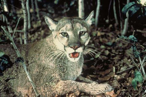List Of Mammals Of Florida