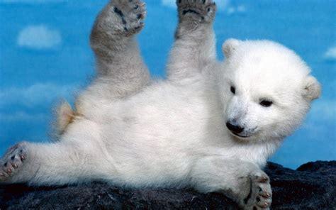 fondo pantalla cria oso polar