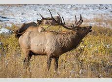 Colorado Bull Elk With harem Rocky Mountain National Park