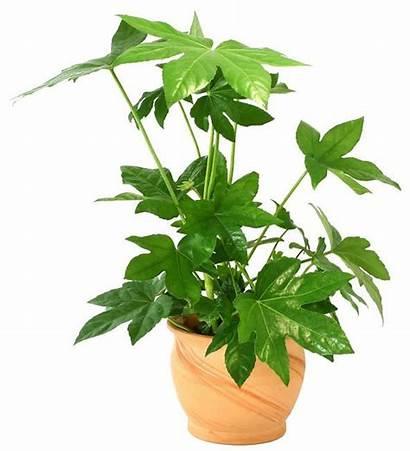 Indoor Plants Tall Houseplants Fatsia Japonica Houseplant