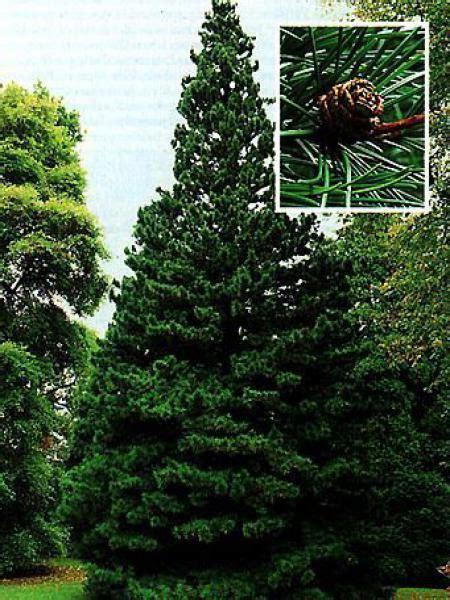pin parasol du japon pin parasol du japon sciadopitys verticillata le jardin du pic vert