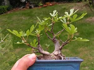 Profondeur Des Racines D Un Figuier : volution d 39 un figuier le coin des shohin et mame forums parlons bonsai ~ Nature-et-papiers.com Idées de Décoration
