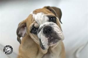 Fawn and White English Bulldog Puppy * fogcitybulldogs.com ...