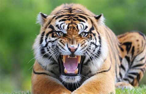 tigers killed  people  northern india gok news
