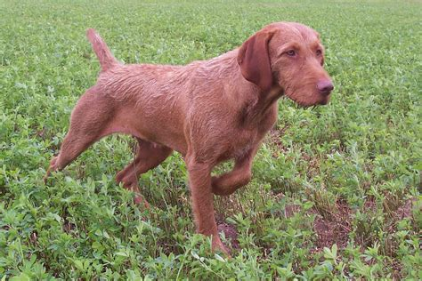 Vizsla Shedding Puppy Coat by Hungarian Wire Haired Pointing 2puppies