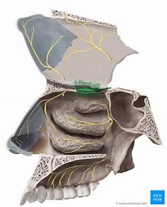 Olfactory Nerve  Cn I
