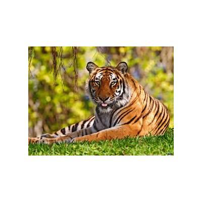 Bengal TigerThe Life of Animals