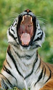 tigris - Animal Stock Photos - Kimballstock
