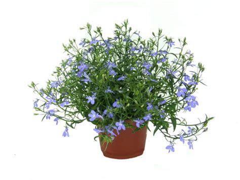 gemüse anbauen hochbeet balkonpflanzen lexikon f 252 r kr 228 uter und pflanzen