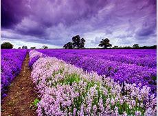 Delightful Lavender Fields – United Kingdom World for Travel