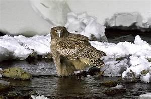 Japan in Winter: Birding on Ice