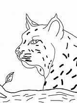 Coloring Pages Bobcat Printable Animals Getcolorings Getdrawings Face Drawing sketch template