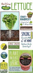 Tips for Growing Lettuce (Infographic) – Bonnie Plants