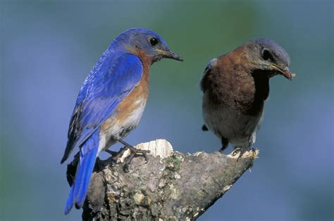 welcome bluebirds to your yard hgtv