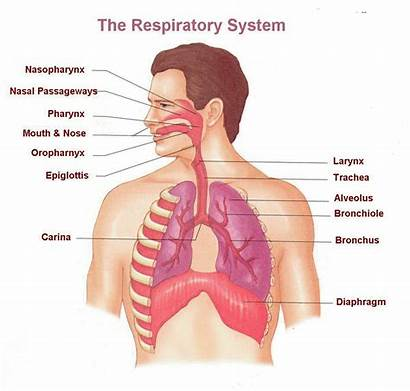 Respiratory System Labeled Anatomy Diagram Human Breathing