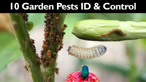 10 garden pests how to organically control them doovi