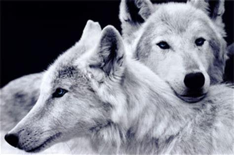chambre de pousse les loups sont de retour de l 39 hérault lengadoc info