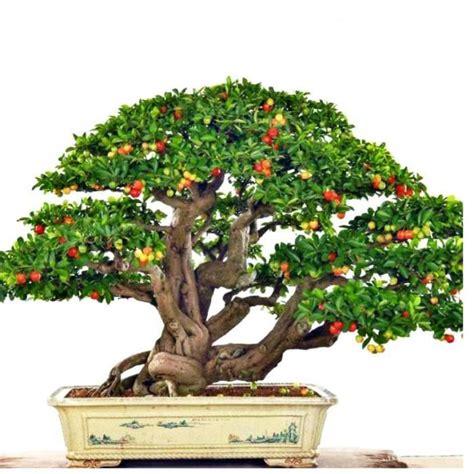 pot bonsai pas cher bonsai pas cher